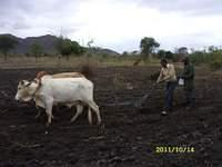 Flo ploughing and Mutunga planting maize behind her-1