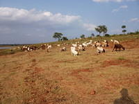 Grazing cattle by the dam